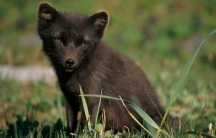 A brown fox sits in the grass