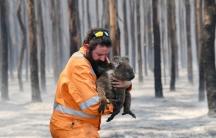 A wildlife rescuer carries a Koala.