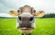 Research atThe University of Sydney in Australia suggests cows have individual voices, and they talk to each other.