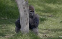 A gorilla appears sitting on green grass near a tree