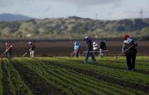 Farmworkers in a field