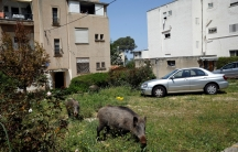 Wild boar next to apartment buildings