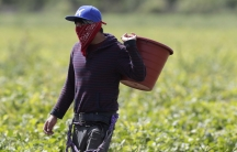 A farmworker, considered an essential worker under the current COVID-19 pandemic, harvests beans, May 12, 2020, in Homestead, Florida.