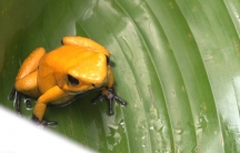 A yellow frog sits on a green leaf