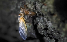 An adult cicada rests after shedding its nymphal skin, on the bark of an an oak tree early Wednesday, May 5, 2021, on the University of Maryland campus in College Park, Maryland.