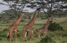 Maasai giraffes walk in Serengeti National Park, west of Arusha, northern Tanzania.