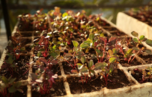 Amaranth seedlings being grown in southern Mexico's Tehuacan valley. The plant's seeds are high in protein and its leaves are high in iron, vitamin C and calcium.