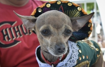 A Chihuahua wears a mariachi costume during the Running of the Chihuahuas in Washington, DC, to celebrate Cinco de Mayo.