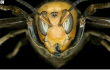 The giant hornets found in northern China can grow up to two and a half inches long.