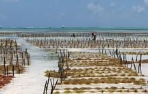Aquacultures of red algae define this beach in Zanzibar.