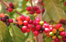 coffea arabica.