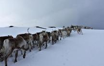 Norway's reindeer head for spring pastures.