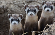 Black-footed ferrets.
