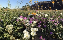The spring bloom in California's Anza-Borrego Desert State Park is pictured here.