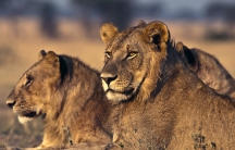 Young male lions at sunrise in Tanzania.