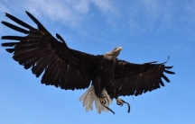 A bald eagle spreads it wings. The eagle is just one of hundreds of North American birds now threatened by the effects of climate change