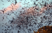 Bats flying near Bracken Cave, Texas.