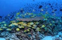 Hawaii coral reef fish