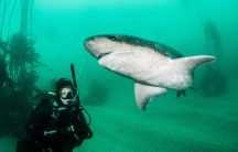 Alison Kock with a sevengill shark in South Africa.