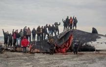 Bowhead whale catch