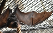Bats have a specialized thin skin that allows their wings to change when a muscle is activated with every beat cycle of the wings.