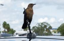Bird on a car