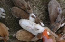 Bunnies on Okunojima, Japan