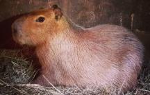 Case closed on Toronto's High Park capybara escape.