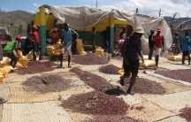 Salvaging Haiti's cacao crop after Hurricane Matthew