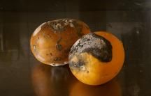 Moldy oranges