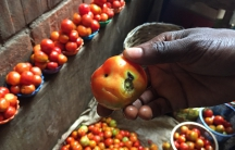 "In a market in Abuja, a vendor named Abba shows me a puny tomato that was selling for 10 times the usual price. Some Nigerians have been calling tomatoes ""Buhari's gold,"" after the president."