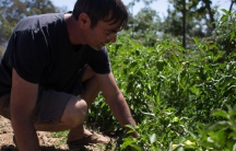 Shahar Caspi tends to peppers and other vegetables at his small community-supported farm in California's Sierra Nevada foothills. The Israeli transplant uses water-efficient farming methods he learned working the arid land back home.