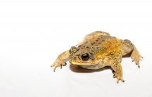 The Asian common toad has lived side by side with other creatures in its native habitat for millennia. But introduced into a new location the mildly poisonous species can wreak havoc on unsuspecting predators. That's why scientists were worried to find th
