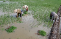 Field workers transplant rice on a farm in Soc Trang Province, Vietnam.