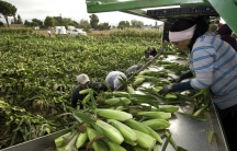 Migrant workers harvest corn on Uesugi Farms in Gilroy, California.