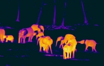 Elephants thermal camera