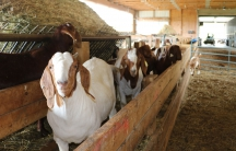 Goats at Leach Farms in upstate New York.