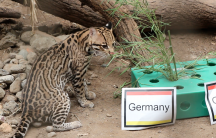 Isodoro the ocelot picks Germany to win the World Cup.