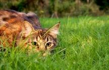 Housecat stalking