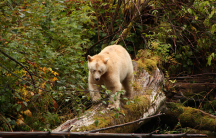 A white Spirit bear in the Great Bear Rainforest — the only place on Earth where these bears can be found.