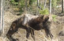 Moose tick infestation