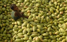 A child sits on a heap of mangos at a fruit wholesale market in Kodur village, about 650 km (404 miles) south of the southern Indian city of Hyderabad.