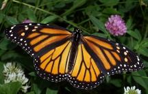 Monarch close up