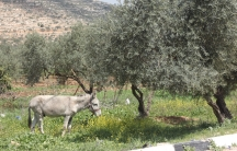 An Israeli settler tried to steal this mule from the Palestinian village of Luban.