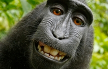 One of the photos of a crested black macaque monkey that David Slater says belongs to him. Wikipedia claims that, because the monkey pressed the shutter, the photo is a public domain image whose copyright belongs to no one.