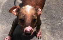 A Peruvian hairless dog at Alfredo Janneau's kennel in Lima.