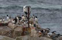 Puffin loafing ledge