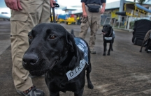 Patella, Jim Houck's 4-year-old human remains detection dog, arrives on the tarmac in Tacloban.