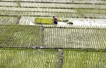 Rice paddies Bangladesh
