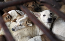 Dogs wait to be slaughtered in a cage for sale as food in Duong Noi village outside Hanoi, 2011.